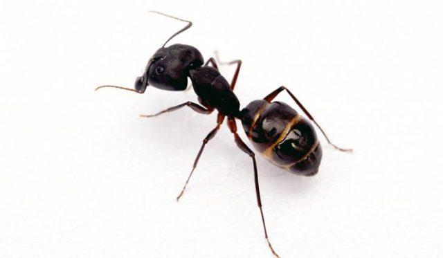 Karıncalar Hakkında İlginç Gerçekler