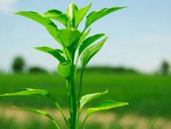 Bitkiler Bizi Duyabilir mi?