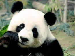 Büyük Panda