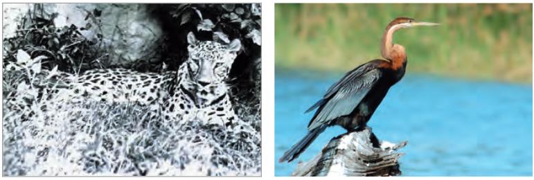 Nesli tükenmek üzere olan Anadolu parsı ve yılanboyun kuşu