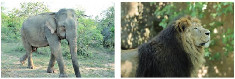Nesli tükenmiş olan Asya fili ve Asya aslanı