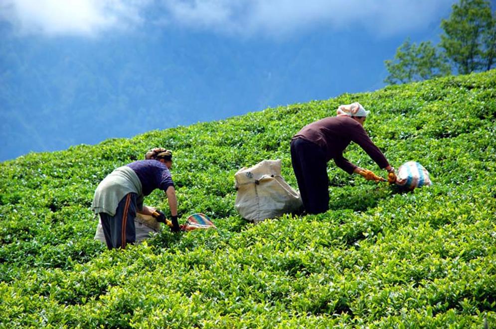 Çay fidanı Geliştirmek için Uygulanacak Adımlar Nelerdir?