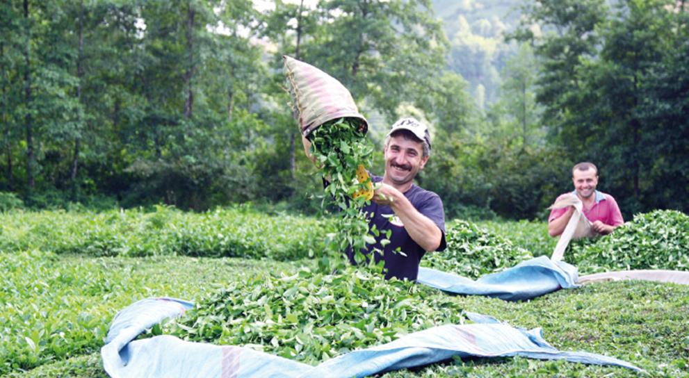 Çayın Ekolojik İstekleri Nelerdir?