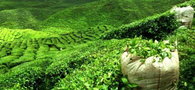 Çayın Yetiştiriciliğinde Bilinmesi Gerekenler Nelerdir?