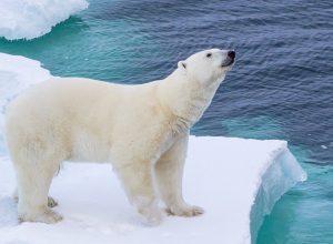 Küresel Isınmanın Kutup Ayıları Üzerindeki Etkileri