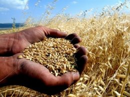 Türkiye'de Buğday Üretimi