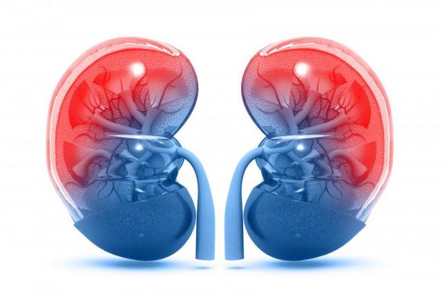 Homeostatik Denge ve Böbrek