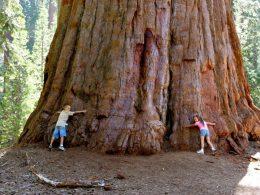 Dünyanın En Büyük Ağacı ve En Uzun Yaşayan Canlısı: Sekoya Ağacı