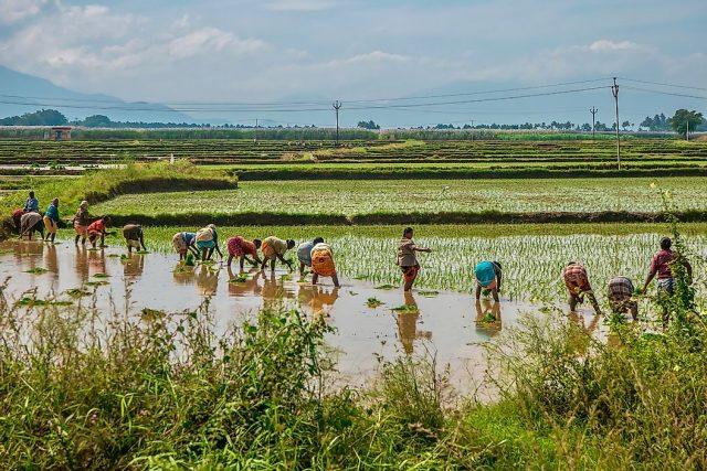Pirinç Üretiminin En Fazla Olduğu Ülkeler
